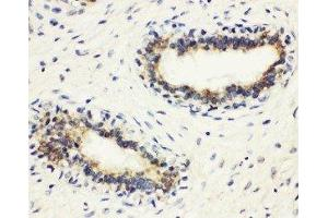 Image no. 1 for anti-Major Histocompatibility Complex, Class II, DM beta (HLA-DMB) (AA 81-100), (Middle Region) antibody (ABIN3044175)