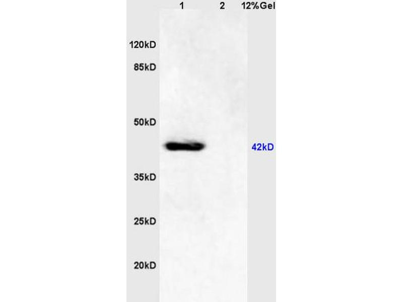 SDS-PAGE (SDS) image for anti-Mitogen-Activated Protein Kinase 8 (MAPK8) (AA 170-210), (pThr183), (pTyr185) antibody (ABIN732368)