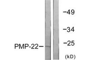 Image no. 1 for anti-Peripheral Myelin Protein 22 (PMP22) (AA 111-160) antibody (ABIN1533382)