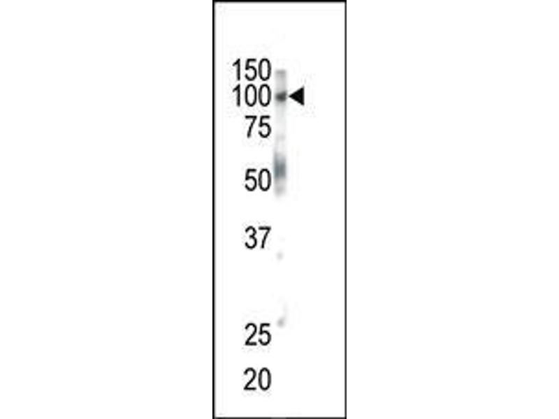 Western Blotting (WB) image for anti-EPH Receptor B1 (EPHB1) (AA 955-984), (C-Term) antibody (ABIN391917)
