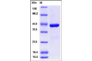 Image no. 1 for Indoleamine 2,3-Dioxygenase 2 (IDO2) (AA 14-420) protein (His tag) (ABIN2005810)