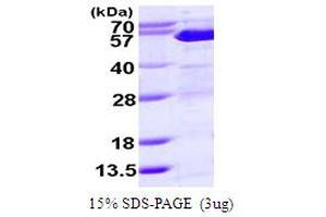 Image no. 1 for Suppressor of Fused Homolog (Drosophila) (SUFUH) (AA 1-484) protein (His tag) (ABIN667565)
