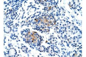 Image no. 1 for anti-Purinergic Receptor P2X, Ligand Gated Ion Channel 1 (P2RX1) (Middle Region) antibody (ABIN630119)