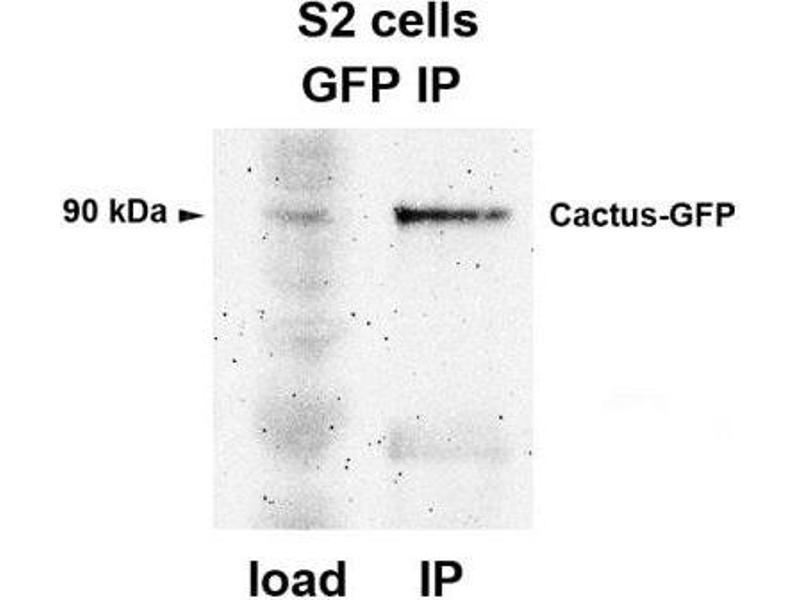 Immunoprecipitation (IP) image for anti-Green Fluorescent Protein (GFP) antibody (ABIN153230)