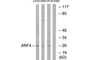 Image no. 1 for anti-ADP-Ribosylation Factor 4 (ARF4) (AA 71-120) antibody (ABIN1534607)