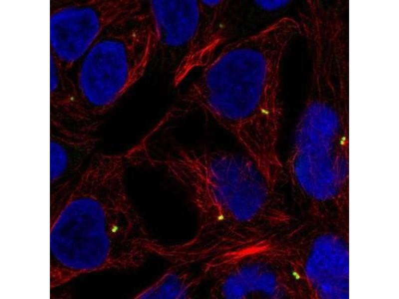 Immunofluorescence (IF) image for anti-Lymphotoxin beta (TNF Superfamily, Member 3) (LTB) antibody (ABIN4331997)