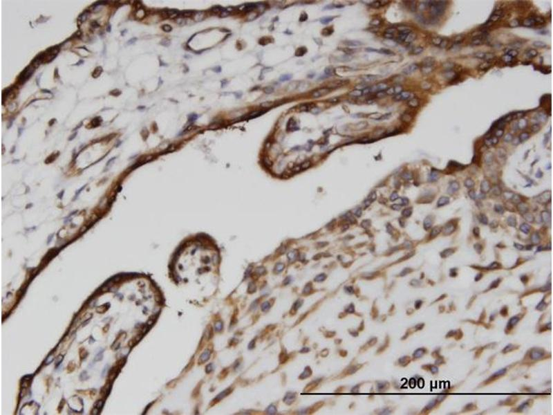 Immunostaining (ISt) image for anti-Calnexin (CANX) (AA 504-592), (partial) antibody (ABIN513996)