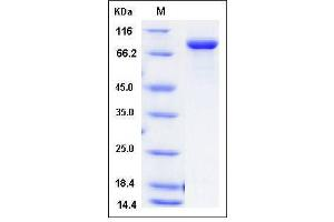 Image no. 1 for Transferrin Receptor (p90, CD71) (TFRC) (AA 89-763), (Extracellular Domain) protein (His tag) (ABIN2008269)