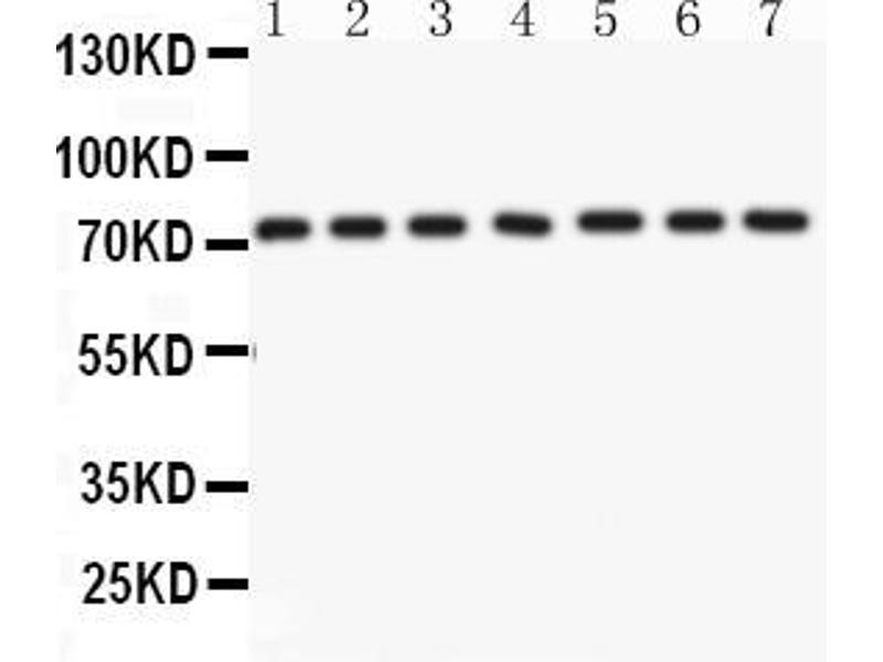 Western Blotting (WB) image for anti-Lamin A/C (LMNA) (AA 481-646) antibody (ABIN3043295)