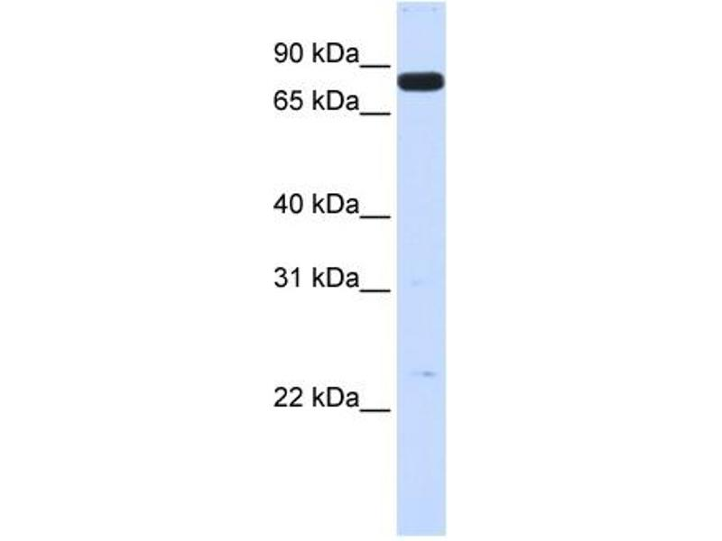 Western Blotting (WB) image for anti-HGF antibody (Hepatocyte Growth Factor (Hepapoietin A, Scatter Factor)) (N-Term) (ABIN2781816)