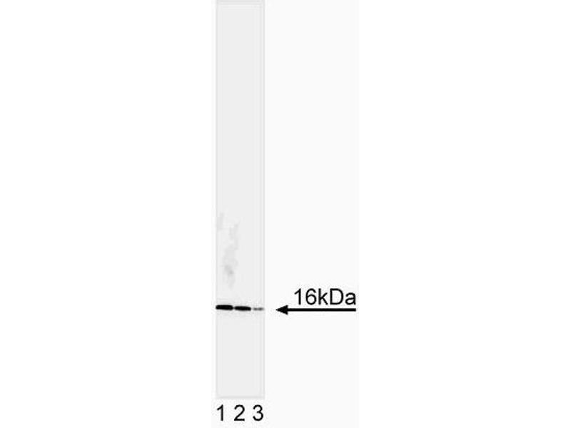 Western Blotting (WB) image for anti-Superoxide Dismutase 1, Soluble (SOD1) antibody (ABIN967513)