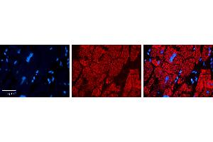 Image no. 3 for anti-Carnitine Palmitoyltransferase 2 (CPT2) (N-Term) antibody (ABIN5515409)