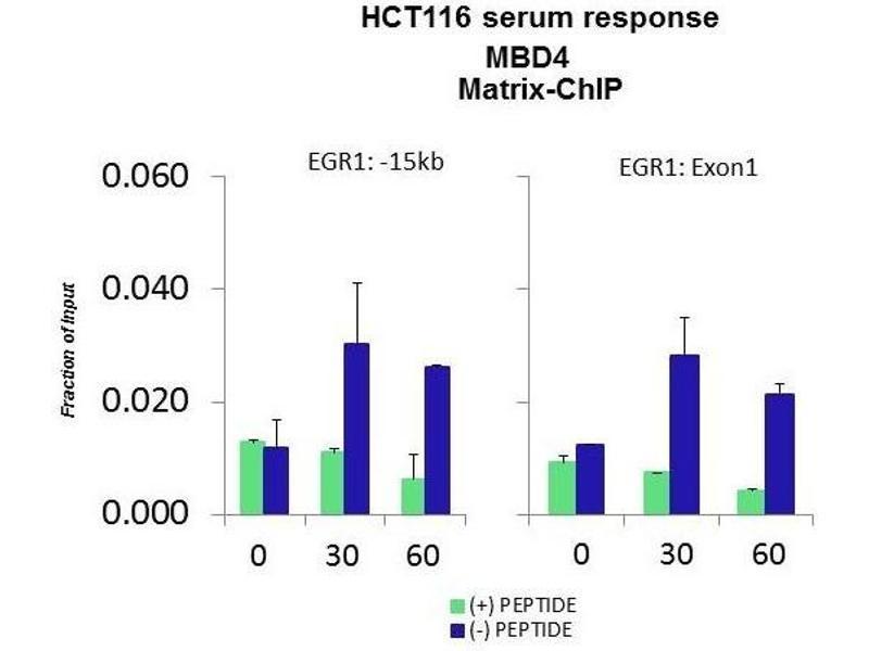 Chromatin Immunoprecipitation (ChIP) image for anti-Methyl-CpG Binding Domain Protein 4 (MBD4) (Middle Region) antibody (ABIN2776028)