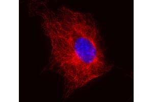 Immunofluorescence (IF) image for anti-Tubulin, beta (TUBB) antibody (ABIN93914)