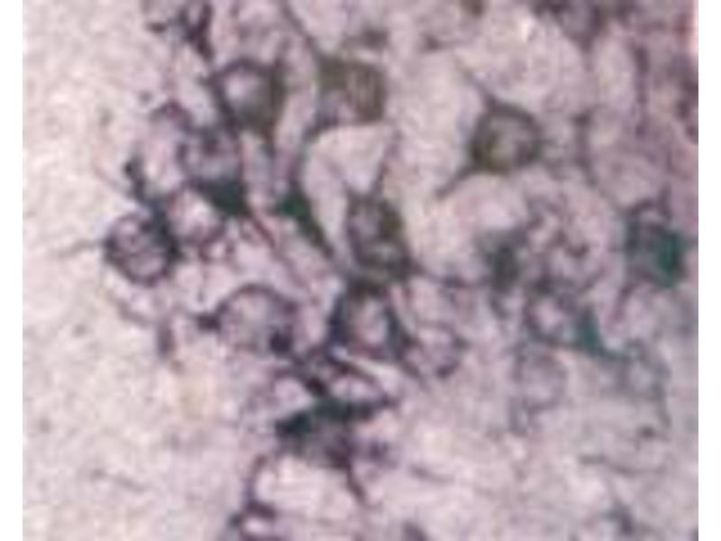 Image no. 3 for anti-Sortilin 1 (SORT1) (N-Term) antibody (ABIN350868)