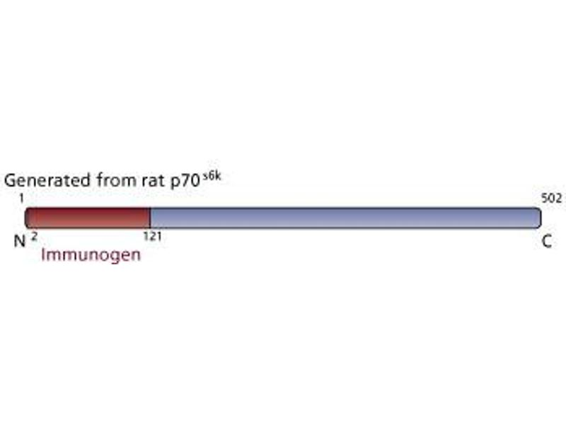 image for anti-Ribosomal Protein S6 Kinase, 70kDa, Polypeptide 1 (RPS6KB1) (AA 2-121) antibody (ABIN968442)