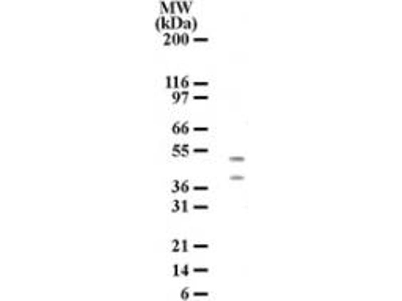 Western Blotting (WB) image for anti-HtrA Serine Peptidase 2 (HTRA2) (AA 335-350) antibody (ABIN567900)