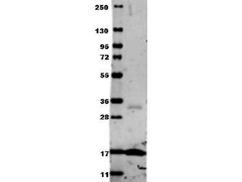 Western Blotting (WB) image for anti-Tumor Necrosis Factor (TNF) antibody (ABIN153474)