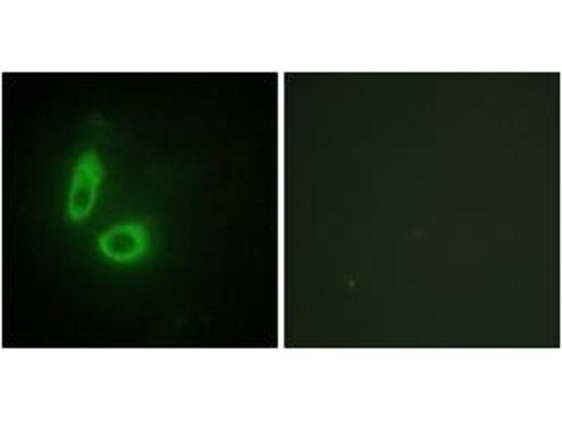 Immunofluorescence (IF) image for anti-Ephrin A1 (EFNA1) (AA 66-115) antibody (ABIN1533653)