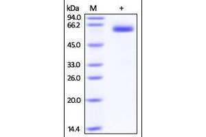 Image no. 1 for Lymphotoxin beta Receptor (TNFR Superfamily, Member 3) (LTBR) (AA 31-227) protein (Fc Tag) (ABIN2181486)