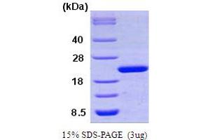 Image no. 1 for Peptidylprolyl Isomerase F (PPIF) (AA 30-207) protein (ABIN666719)