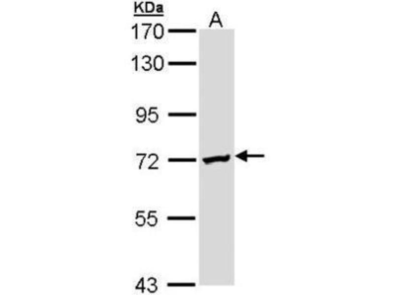 Image no. 2 for anti-Deleted in Azoospermia 2 (DAZ2) (Center) antibody (ABIN2856724)