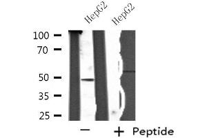 Image no. 1 for anti-SH2 Domain Protein 2A (SH2D2A) antibody (ABIN6259596)