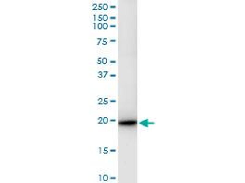 Immunoprecipitation (IP) image for anti-Interferon, alpha 4 (IFNa4) (AA 1-189), (full length) antibody (ABIN516882)