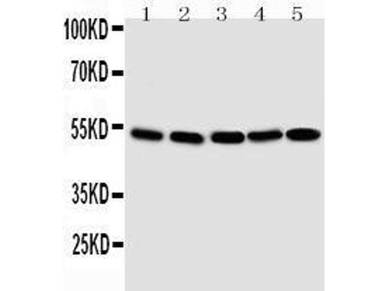 Image no. 2 for anti-SMAD, Mothers Against DPP Homolog 1 (SMAD1) (AA 253-267), (C-Term) antibody (ABIN3043979)