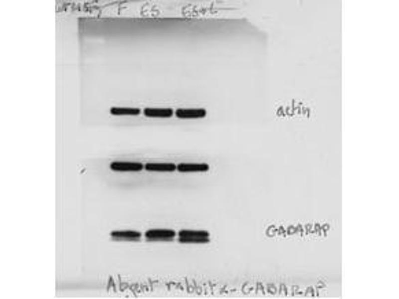 Western Blotting (WB) image for anti-GABA(A) Receptor-Associated Protein (GABARAP) (AA 1-30), (N-Term) antibody (ABIN388564)