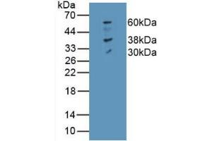 Image no. 4 for anti-Solute Carrier Family 40 (Iron-Regulated Transporter), Member 1 (SLC40A1) (AA 127-321) antibody (ABIN5662128)