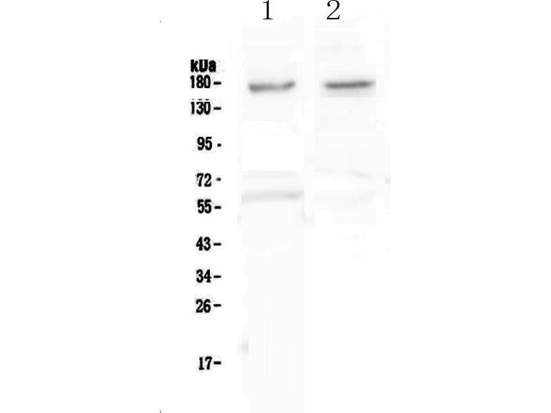 Western Blotting (WB) image for anti-Neurexin 1 (NRXN1) (AA 141-294) antibody (ABIN5693015)