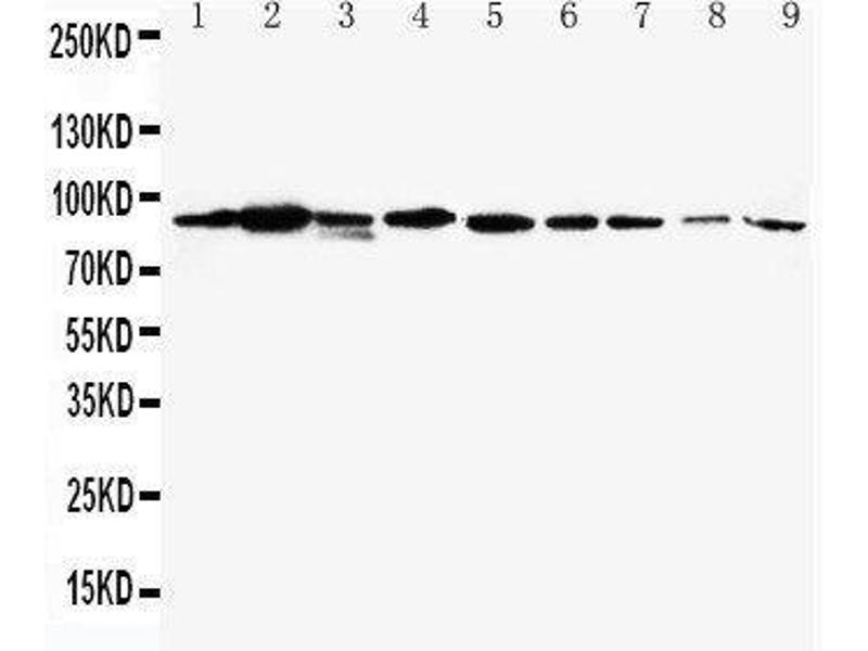 Image no. 1 for anti-Signal Transducer and Activator of Transcription 1, 91kDa (STAT1) (AA 364-378), (Middle Region) antibody (ABIN3043693)