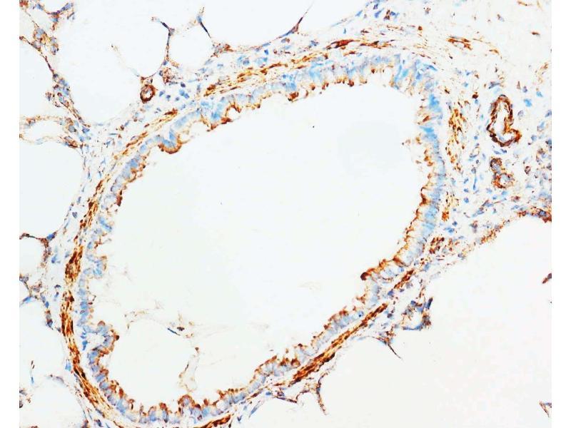 Immunohistochemistry (IHC) image for anti-Cytochrome C, Somatic (CYCS) (AA 91-105), (C-Term) antibody (ABIN3043697)