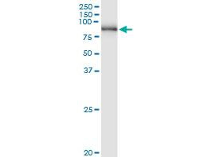 Image no. 1 for anti-Polyribonucleotide Nucleotidyltransferase 1 (PNPT1) (AA 1-783) antibody (ABIN950106)