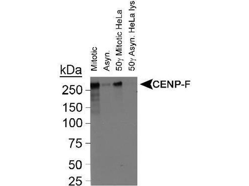 Western Blotting (WB) image for anti-Centromere Protein F (CENPF) (C-Term) antibody (ABIN152930)