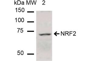 Image no. 2 for anti-Nuclear Factor (erythroid-Derived 2)-Like 2 (NFE2L2) antibody (HRP) (ABIN5066780)