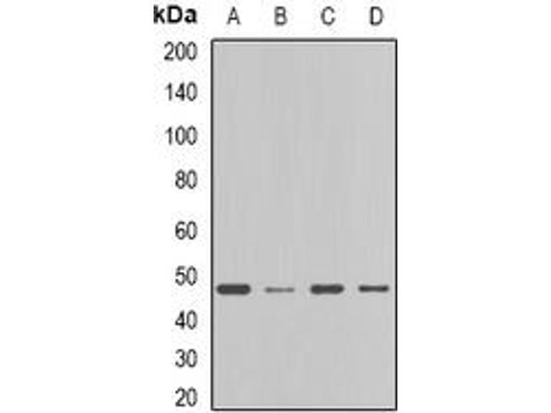 Western Blotting (WB) image for anti-Farnesyl-Diphosphate Farnesyltransferase 1 (FDFT1) (full length) antibody (ABIN6005288)