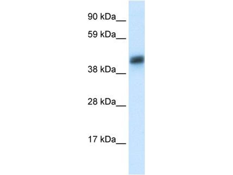 Western Blotting (WB) image for anti-Asialoglycoprotein Receptor 1 antibody (ASGR1) (N-Term) (ABIN182885)