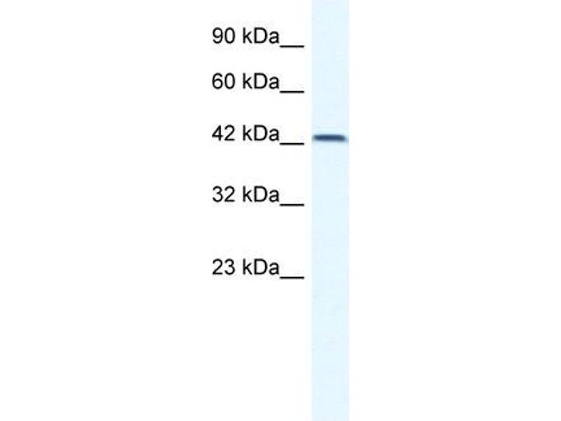 Western Blotting (WB) image for anti-T-Box 6 (TBX6) (N-Term) antibody (ABIN182801)