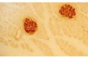Immunocytochemistry (ICC) image for anti-Insulin antibody (INS) (ABIN617877)