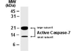 Western Blotting (WB) image for anti-Caspase 7, Apoptosis-Related Cysteine Peptidase (CASP7) antibody (ABIN4288137)