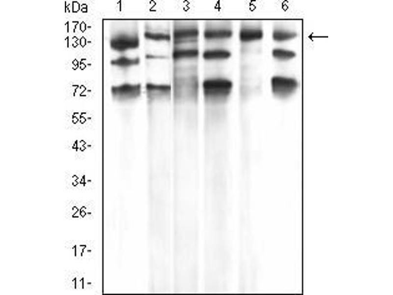 Western Blotting (WB) image for anti-Phospholipase C gamma 1 antibody (phospholipase C, gamma 1) (AA 1192-1291) (ABIN5542680)