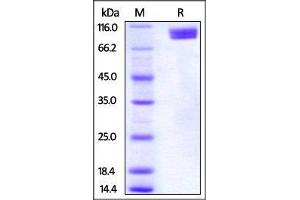 Image no. 2 for Poliovirus Receptor-Related 3 (PVRL3) (AA 58-400) (Active) protein (Fc Tag) (ABIN4949138)