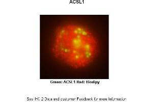 Image no. 2 for anti-Acyl-CoA Synthetase Long-Chain Family Member 1 (Acsl1) (N-Term) antibody (ABIN2777591)
