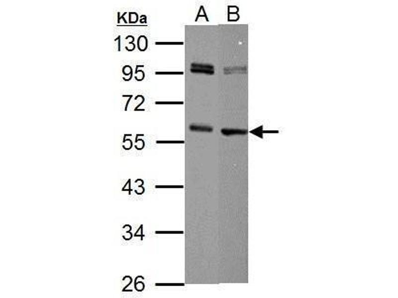Image no. 1 for anti-Myc Proto-Oncogene protein (MYC) (Center) antibody (ABIN2855631)
