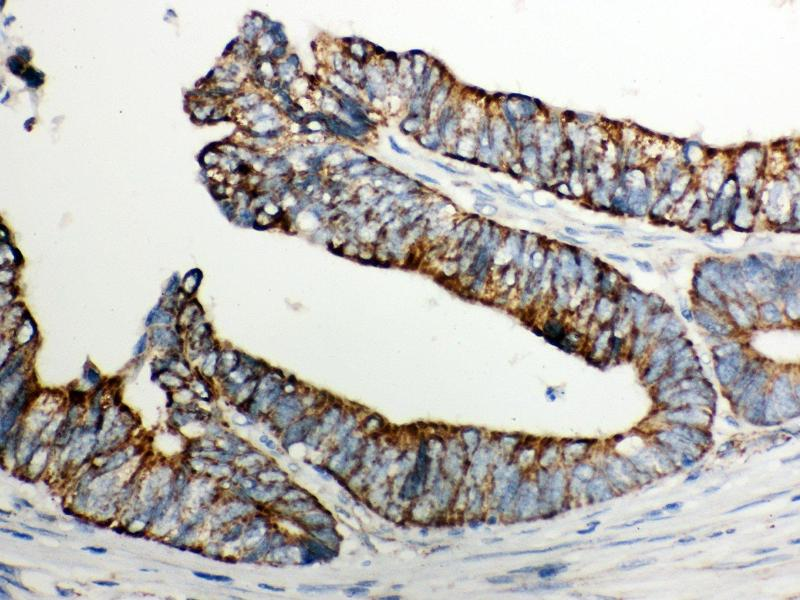 Immunohistochemistry (IHC) image for anti-Cytochrome C antibody (Cytochrome C, Somatic) (AA 2-105) (ABIN3042783)
