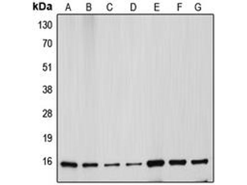 Western Blotting (WB) image for anti-Cytochrome C antibody (Cytochrome C, Somatic) (N-Term) (ABIN2707462)