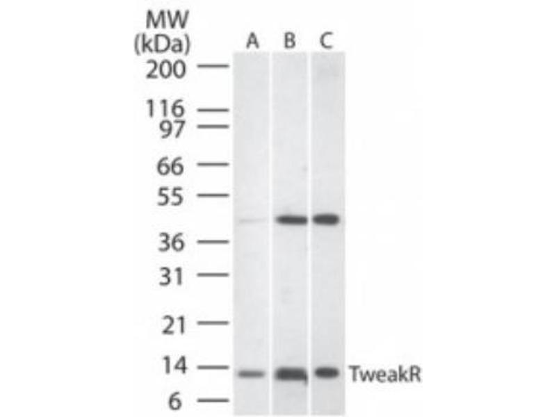 Western Blotting (WB) image for anti-TNFRSF12A antibody (Tumor Necrosis Factor Receptor Superfamily, Member 12A) (ABIN252585)