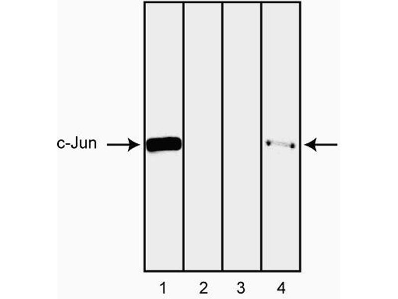 Western Blotting (WB) image for anti-C-JUN antibody (Jun Proto-Oncogene) (C-Term) (ABIN967394)